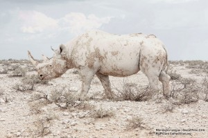 White Rhino photographed by Maroesjka Lavigne in Etosha National Park, Namibia. pic from ecowatch/OnEarth