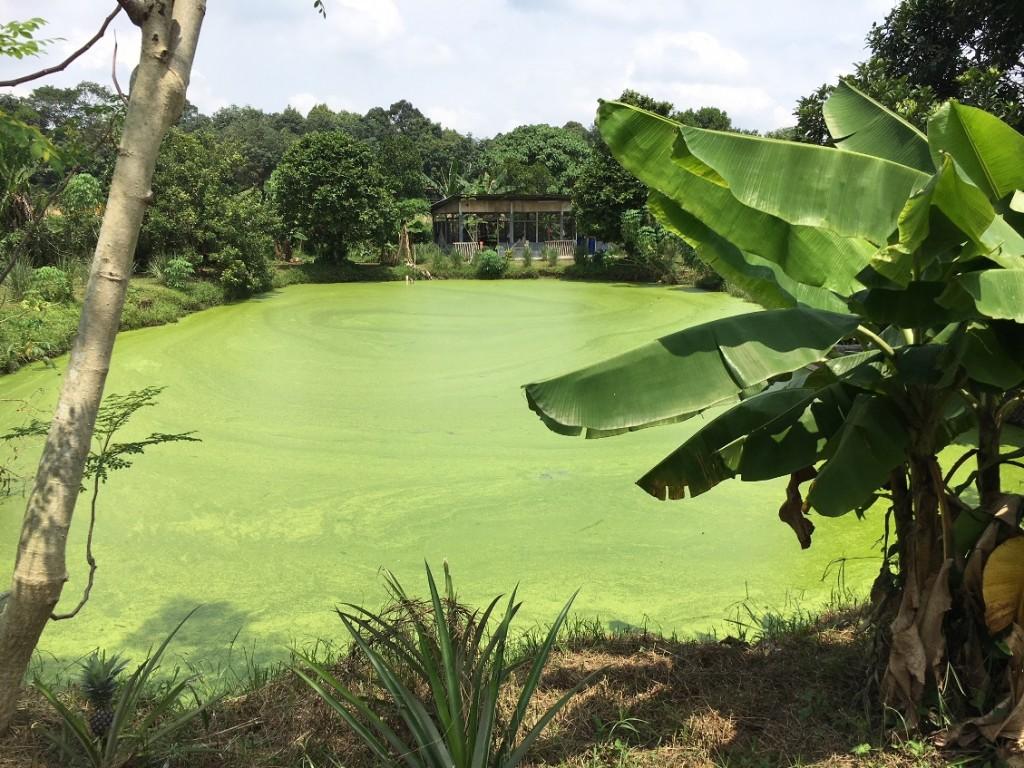 The scenic duckweed pond