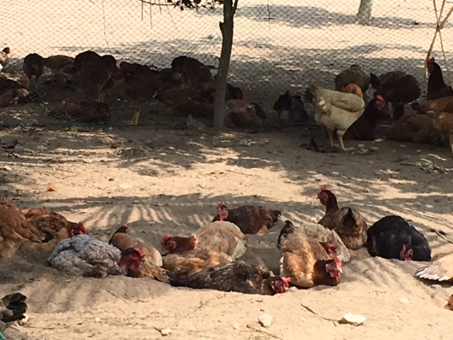 Chickens settle in the shade at the farm